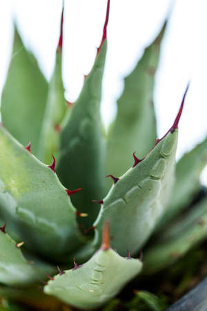 Small agave plant on a white background.