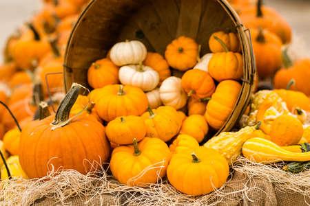 Orange pumpkins on the pumpkin patch.