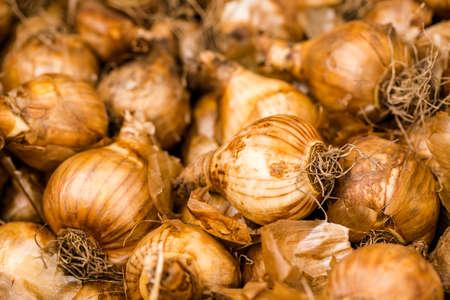 garden center: Tulip bulbs in wooden boxes in garden center. Stock Photo