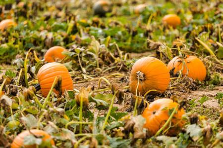 Harvest time on a large pumpkin farm. photo