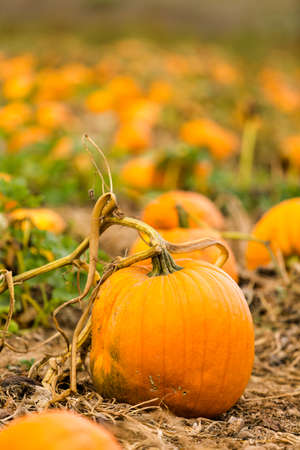 large pumpkin: Harvest time on a large pumpkin farm.