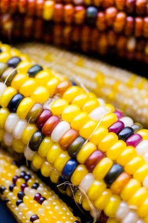 zea: Multi colored indian corn made for Thanksgiving decoration.
