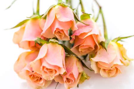 Pink roses on a white . 版權商用圖片