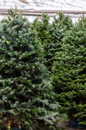 christmas tree ornament: Beautiful fresh cut Christmas trees at Christmas tree farm.