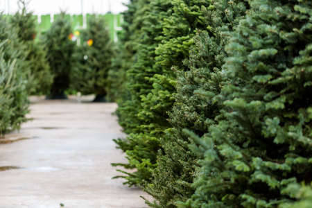 Beautiful fresh cut Christmas trees at Christmas tree farm.