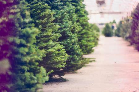 Beautiful fresh cut Christmas trees at Christmas tree farm.
