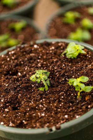 topsoil: Early Spring planting in green house.