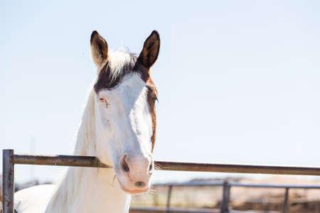 Wit paard op zoek over de metalen hek. Stockfoto