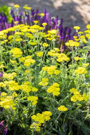 yarrow: Blooming yellow yarrow in the summer garden.
