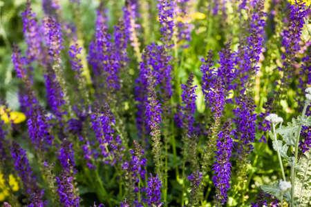 catnip: Blooming purple flowers in the summer garden.