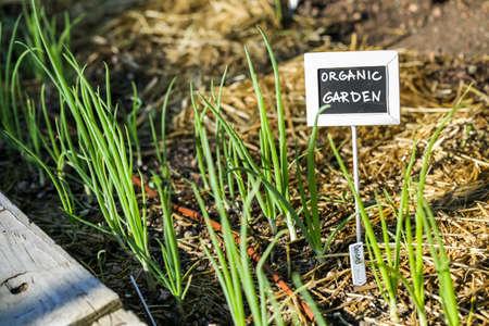denver city park: Early summer in urban vegetable garden. Stock Photo