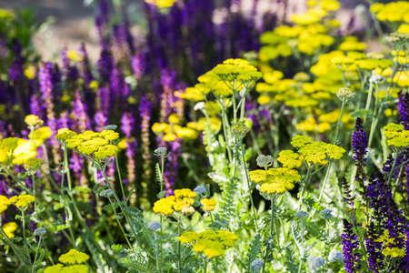 catnip: Blooming yellow yarrow in the summer garden.