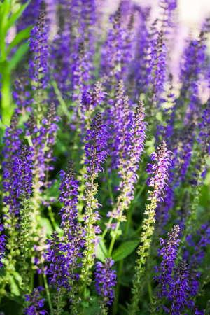 blooming purple: Blooming purple flowers in the summer garden.