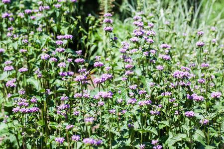 Purple cashmere sage in full in the garden. Stock Photo