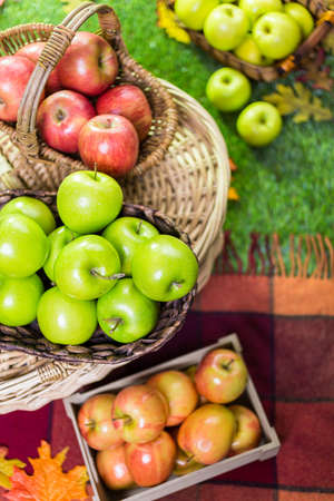 freshly picked: Freshly picked organic apples on the farm. Stock Photo
