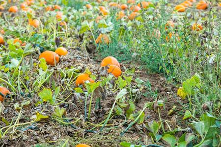 calabaza: Calabazas anaranjadas en el huerto de calabazas.