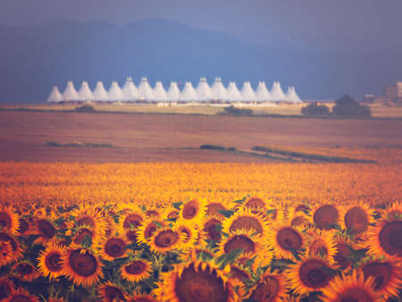 denver at sunrise: Sunflower field with Denver International Airport in the background.