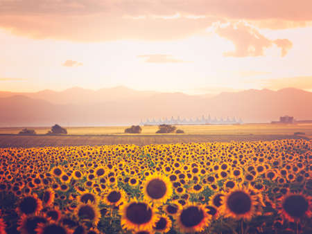 distanation: Sunflower field with Denver International Airport in the background.