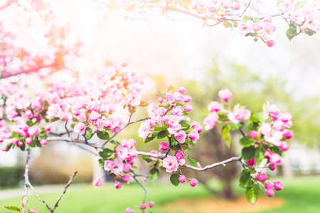 cherrytree: Pink cherry blossom in early Spring.