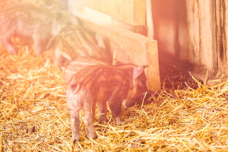 Piglets in the barn on the farm.