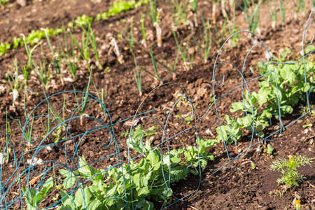 early summer: Organic vegetable community garden in early Summer. Stock Photo