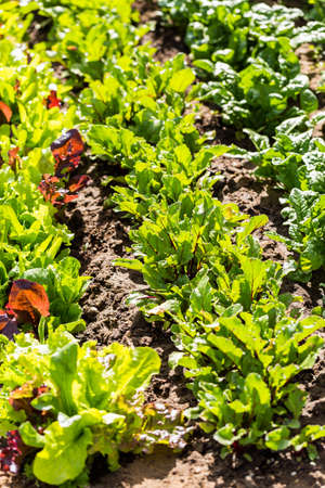 early summer: Organi vegetable community garden in early Summer. Stock Photo