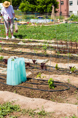 community garden: Organi vegetable community garden in early Summer. Stock Photo
