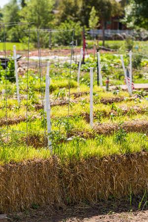 Organic vegetable community garden in early Summer. Stock Photo