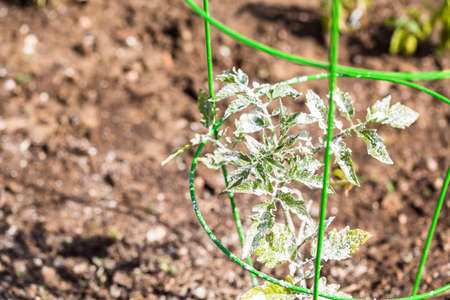 galvanized: Tomato covered with white organic powder to protect plants from bugs.