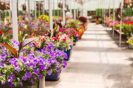 garden center: Abundance of colorful flowers at the garden center in Early Summer. Stock Photo