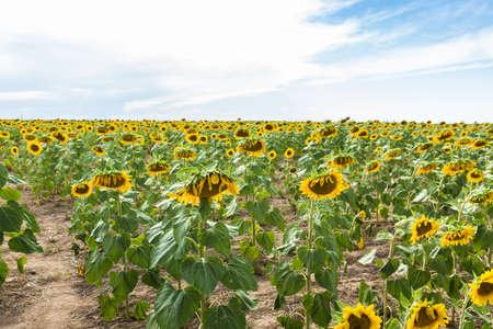 Blooming sunflower on agricultural  fields.