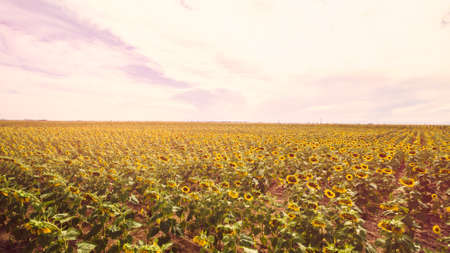 Aerial view of blooming sunflower fields. Stock Photo