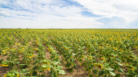 bennett: Aerial view of blooming sunflower fields. Stock Photo