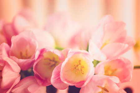 Light pink tulips on a pink background. Imagens - 73425353