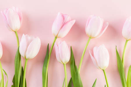 Bouquet of pink tulips on a pink background.
