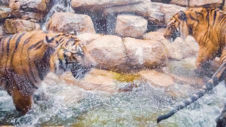 Tigers playing in water pool in captivity. 版權商用圖片