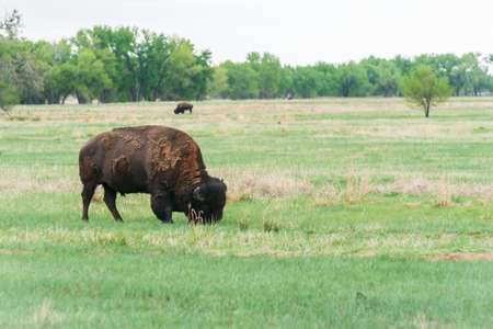 Buffalo hers at Rocky Mountain Arsenal National Wildlife Refuge, Colorado. Imagens - 113149673