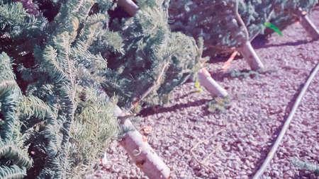 Cut evergreens at the Christmas tree farm. Stock Photo