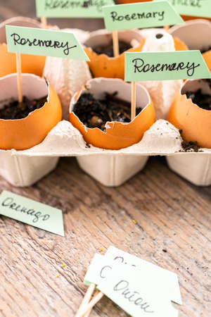 Plantings seeds in eggshells and labeling them with small plant tags. Standard-Bild - 122376942