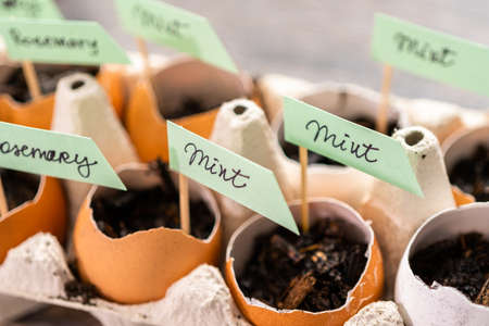 Plantings seeds in eggshells and labeling them with small plant tags. Standard-Bild - 122377022