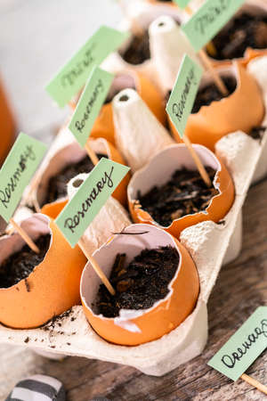 Plantings seeds in eggshells and labeling them with small plant tags. Standard-Bild - 122377515