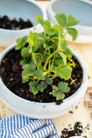 Planting strawberry plant in small garden planting pot.