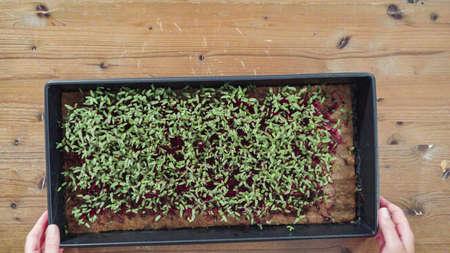 Flat lay. Radish microgreens in the propagation tray, ready for harvesting.