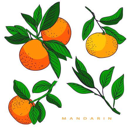 set of mandarines. Handdrawn mandarines.