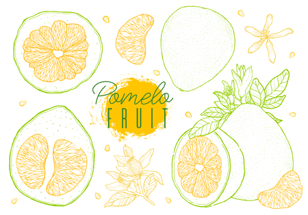 Set vector hand drawn pomelo fruit. Vintage style,yellow green contour. Vector illustration.