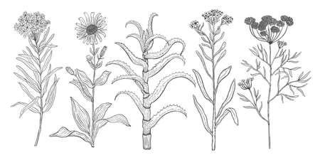 Vector background set with drawing wild plants, herbs and flowers, monochrome botanical illustration in vintage style, natural floral template. Anis, arnica, rosemary, heliehrysum, beech, aloe.