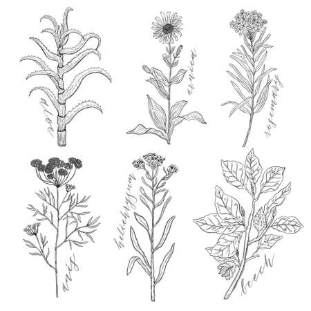 Vector background set with drawing wild plants, herbs and flowers, monochrome botanical illustration in vintage style, natural floral template. Anis, arnica, rosemary, heliehrysum, beech, aloe. Banque d'images - 114983533