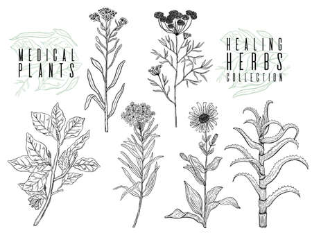 Vector background set with drawing wild plants, herbs and flowers, monochrome botanical illustration in vintage style, natural floral template. Anis, arnica, rosemary, heliehrysum, beech, aloe. Banque d'images - 104513659