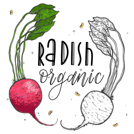 Vector vegetables radish in a realistic sketch style. Healthy food, natural product, vegetable farm, vegan food, sports nutrition. Vintage illustration. Color and black line. Text