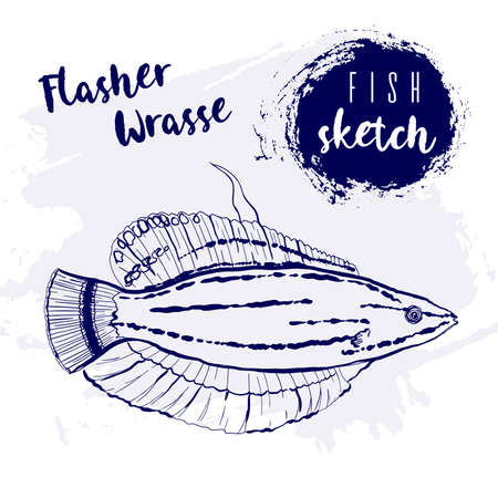 Vintage flasher wrasse fish marine sketch.Retro line style.Hand drawn underwater.